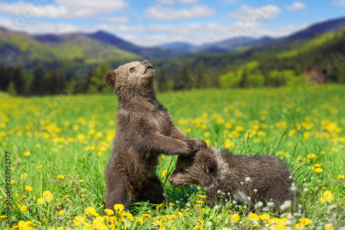Brown bear cub playing on the summer mountain Canvas Print