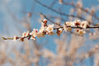 Leinwandbild Motiv apricot flowers on a branch