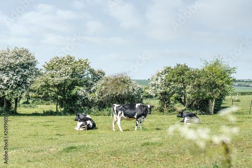 mata magnetyczna vache se reposant dans la pâture