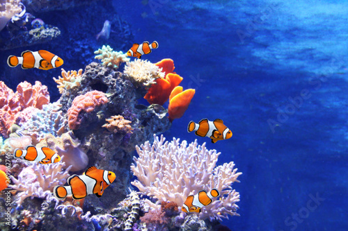 Fotografía  Sea corals and clown fish