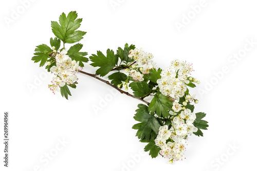 Fotografie, Obraz Small branch of the flowering hawthorn on white background