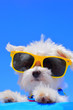 Leinwandbild Motiv dog with sunglasses on blue background
