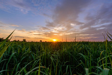 Fresh Sugarcane Field In Sunse...