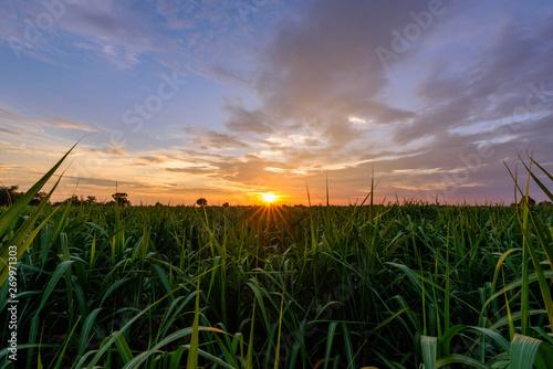 Fresh sugarcane field in sunset time Billede på lærred