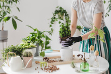 Woman Gardeners  Transplanting Plant In Ceramic Pots On The White Wooden Table. Concept Of Home Garden. Spring Time. Stylish Interior With A Lot Of Plants. Taking Care Of Home Plants. Template.