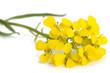 Leinwandbild Motiv Hedge mustard flowers