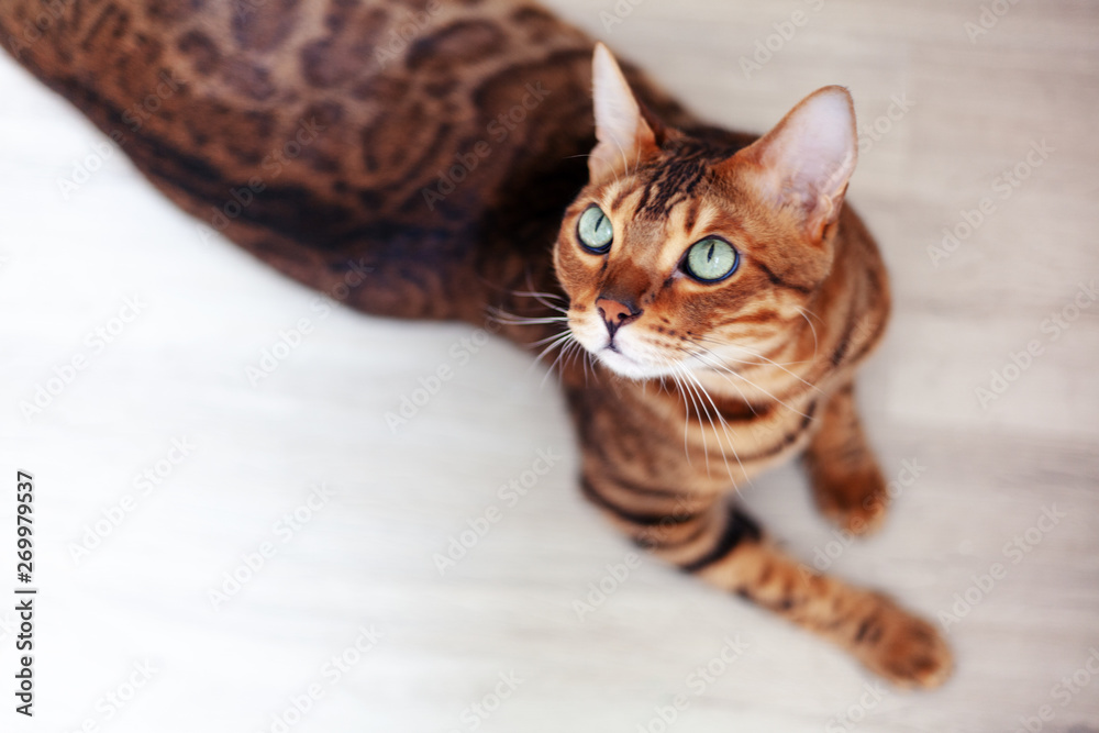 Fototapeta Beautiful red Bengal cat with bright green eyes, sitting on the floor, shot from above
