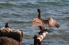 Great Cormorant (Phalacrocorax Carbo) Drying His Wings On A Bar, Surrounded By Water