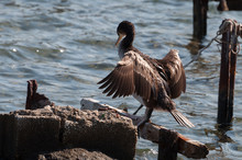 One Great Cormorant (Phalacrocorax Carbo) Drying His Wings