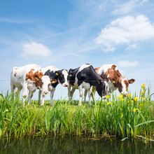 Spotted Red And Black Cows Stand In Green Grassy Meadow With Yellow Flowers Under Blue Sky In Holland