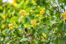 Amazing Nature Floral Background With Flowering Tulip Tree Or Liriodendron In The Spring Garden, Photography Of Beautiful Flowers Suitable For Wallpaper Or Desktop Background