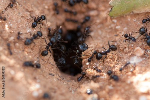 Foto Ants taking their food to the anthill.