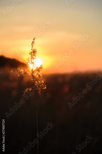Dry grass at golden sunset light. Beautiful background for ...