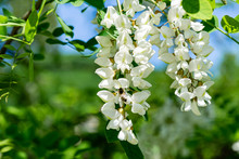 Flowering Branches With White Flowers Of Robinia Pseudoacacia (Black Locust, False Acacia) In Spring. Selective Focus And Close-up. Nature Concept For Design