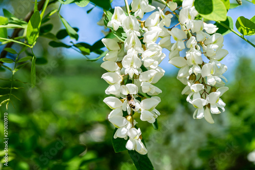 Canvas Print Flowering branches with white flowers of Robinia pseudoacacia (Black Locust, False Acacia) in spring
