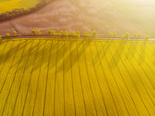 Aerial View Of Yellow Canola Field And Distant Country Road, Tree Line With Long Shadows At Sunrise