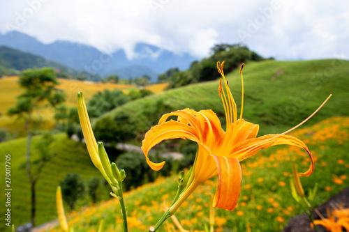 Obraz na plátně Beautiful orange daylily flower farm on Sixty Rock Mountain (Liushidan mountain)