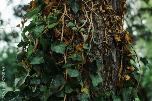 Fotografie, Obraz  Green ivy plant growing on a old tree