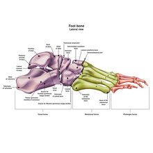 Bones Of The Human Foot With The Name And Description Of All Sites. Lateral View. Human Anatomy. Vector Illustration Isolated On A White Background.
