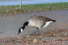 Canada Goose In Stanley Park Vancouver