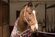 An Anted Horse In A Checkered Blanket, Stands At The Junctions In The Stable Aisle