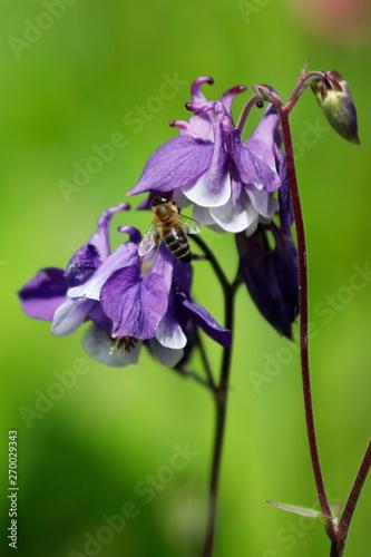 Fotografía Blume Akelei Aquilegia in lila, blau und weiß mit Biene als Close up