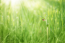 Red Ladybug On A Leaf Of Green Grass