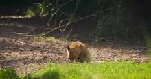 Strong Red Fox Male (vulpes Vu...