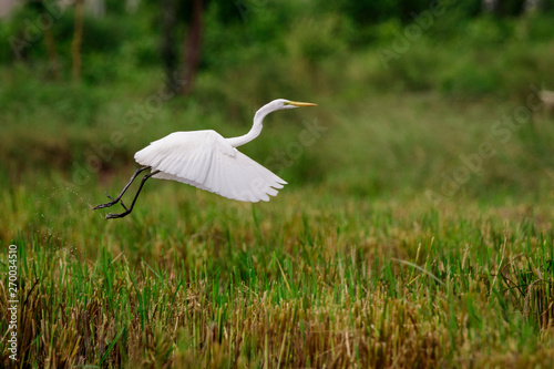 Image of Great Egret(Ardea alba) flying on the natural background Wallpaper Mural