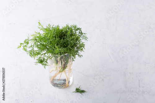 Fresh homegrown organic dill with roots, plant