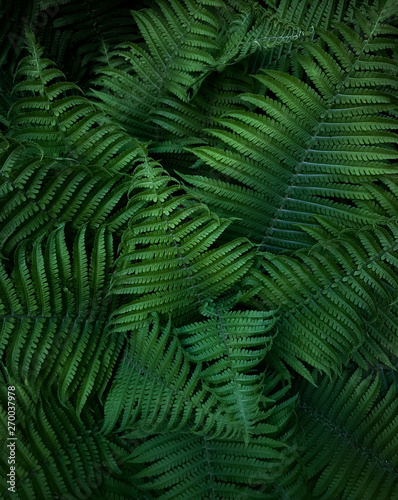 Green leaves of wild forest fern. Texture. - 270037978