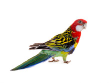 Rosella Parrot Isolated