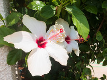 Big White Flowers Of Hibiscus With Pink Stamen And Pistil