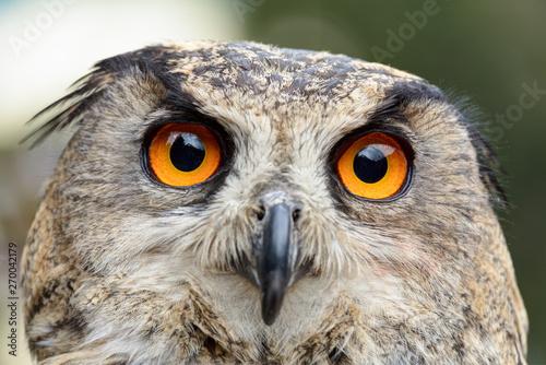 Eagle owl close up shot.