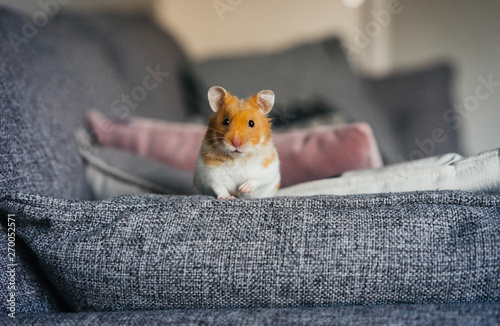 Ginger and white hamster explores living room indoors - 270052571