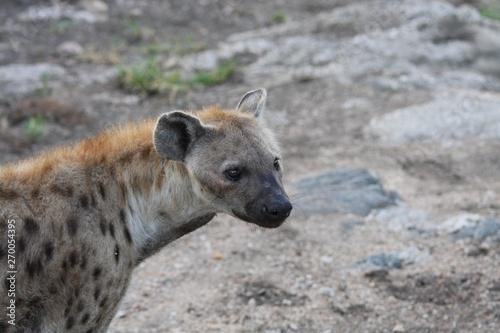 Photo sur Toile Hyène portrait d'une hyène en Afrique du sud