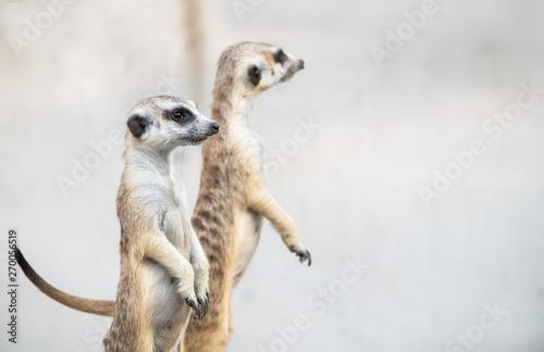 Obraz na plátně  Meerkat Suricata suricatta, African native animal,