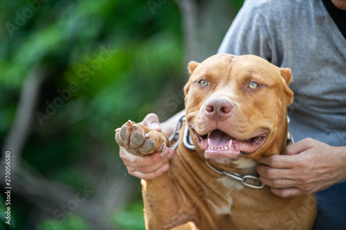 Man playing with American Pit Bull Terrier dog Fototapeta