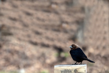 A Male Brown Headed Cowbird Standing On A Wooden Post Makes A Pretty Portrait With Bokeh Effect In Southwest Missouri.