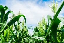 Corn Field Close Up With Blue Sky. Selective Focus