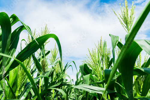 Corn field close up with blue sky. Selective focus Fotobehang