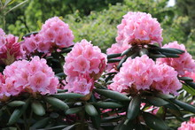 Beautiful Pink Rhododendrons During Spring Bloom