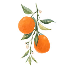 Watercolor Citrus Fruits Illustration