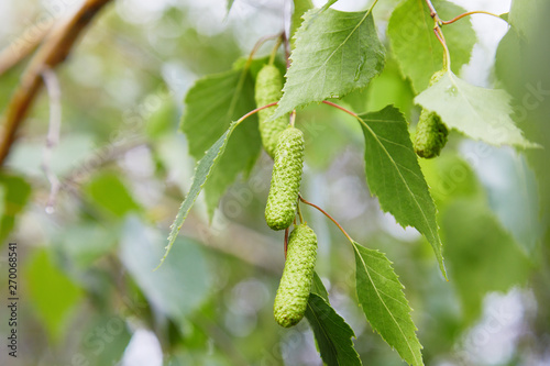 Fotografie, Obraz branch of birch tree (Betula pendula, silver birch, warty birch, European white