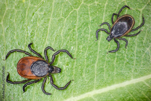 Photo A male and a famale of taiga tick (Ixodes persulcatus) on a green leaf