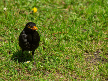 Blackbird On Ground Looking For Food