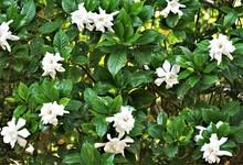 Gardenia Flower (Gardenia Jasm...
