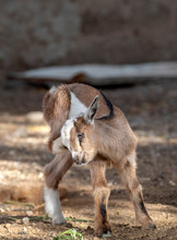 Baby Kid Goat With Itch, In The Center Of Mindelo, The Island Of São Vicente, Cape Verde, Cabo Verde.