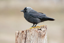 Western Jackdaw, ( Corvus Monedula ) , Perched On A Tree Branch. Spain