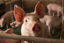 Curious Pig Looking At Camera